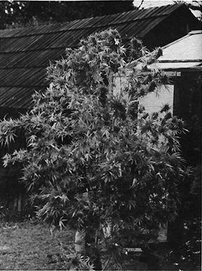 Culture du cannabis installer une serre for Culture du cannabis en exterieur etape par etape