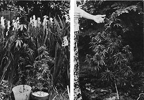 Culture du cannabis r coltes d 39 hiver pour serres et for Culture cannabis exterieur hiver