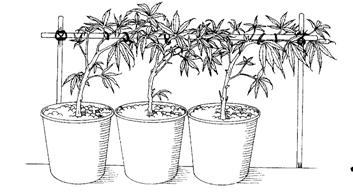 comment faire comment faire pousser du cannabis howto illustr s. Black Bedroom Furniture Sets. Home Design Ideas